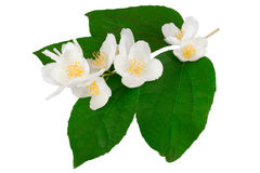 White flower. With white background Stock Photography