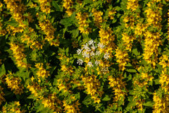 White flower on background of yellow flowers Stock Image