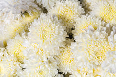 White flower backgrounds Royalty Free Stock Photos