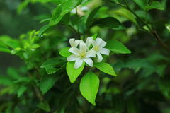 White flower. Is beautiful royalty free stock photos