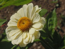 White flower. Beautiful flowers of uttrakhand Royalty Free Stock Images