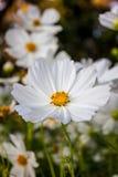 White flower. Beautiful white flower in garden Stock Photos