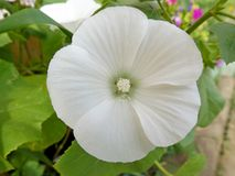 White flower Stock Image