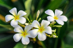 White Flower. White beautiful tropical flowers be delightful Royalty Free Stock Image