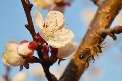 White flower and bee. Spring white flower attracts insects bees Stock Image