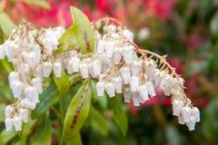White flower bells Royalty Free Stock Photo