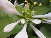 White flower. Big White and green  flower Royalty Free Stock Photos