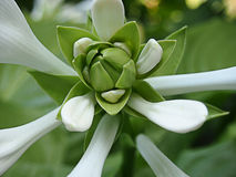 White flower. Big White and green  flower Royalty Free Stock Images
