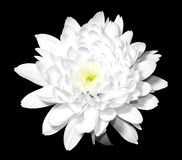 White flower on black Royalty Free Stock Photo