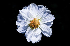 White flower in black background Stock Photo