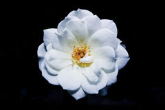 White flower in black background Royalty Free Stock Photo
