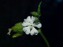 A white flower on the black background Stock Image