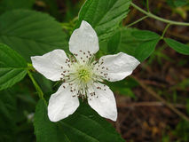 White flower of blackberry closeup with green in wild stock image