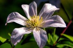 White Flower Royalty Free Stock Image