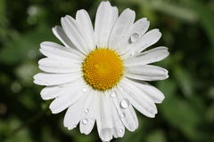 White flower. White blooming flower with rain drops Stock Images