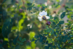 White flower of a blooming wild rose in among green leaves. White flower and deflorated bud of a blooming wild rose in among green leaves Stock Images