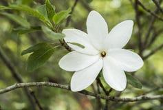 White flower blossom Royalty Free Stock Images