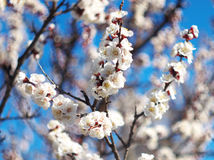 Free White Flower Blossom On Tree Royalty Free Stock Images - 13673119