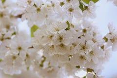 White, Flower, Blossom, Spring Royalty Free Stock Images
