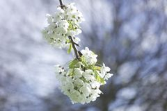 White flower blossom. Spring flower blossom royalty free stock photography