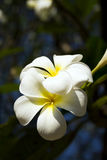 White flower, blossoming. White flower in the south east, asia, springtime Stock Photo