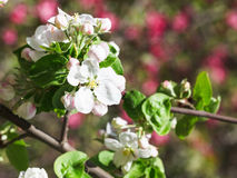 White flower of blossoming apple tree Stock Images