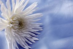 White flower on blue silk. White chrysanthemum on blue silk background Stock Image