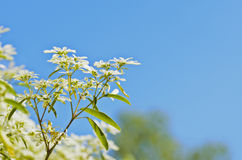 White flower with blue sky Stock Images
