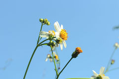 White flower on blue sky Royalty Free Stock Images