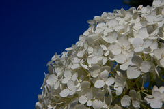 White flower on blue sky background Stock Images