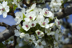 White flower Blume in Tree Royalty Free Stock Photo
