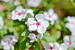 White flower. With blurred background Royalty Free Stock Image