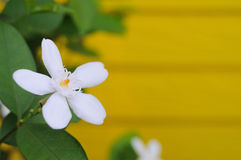 White flower with blurred blackground Stock Photography
