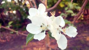 White flower on branch Royalty Free Stock Photo
