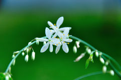 White Flower branches. Chlorophytum flower close-up Stock Images