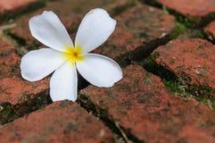 White flower on the brick floor Stock Photo