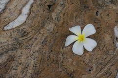 White flower on brown stone Royalty Free Stock Photo