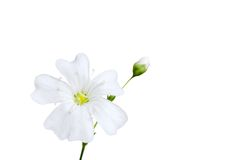 White flower with bud. Isolated white flower with bud on white background Stock Photos