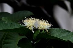White flower buds from guava fruit are in bloom stock photos