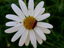 White flower. Flower and bug Royalty Free Stock Photo