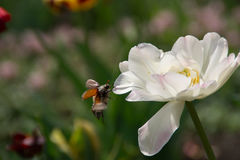 White flower and beetle. White beautiful flower and flying beetle Royalty Free Stock Photo