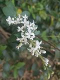 White flower bunch on green bush. White flowers on a bush, many small petals, blossom, park, outdoors, leaves, grow, growth, growing, spring, summer, close-up stock images