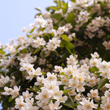 White flower bush. In a garden. White buds. Blue sky in the background Royalty Free Stock Photo