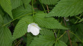 White flower on a bush Stock Images