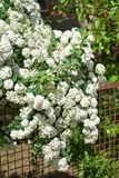 White flower bush next to a fence. Outdoor Stock Images