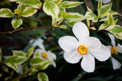 White flower in a bush. Outdoors Royalty Free Stock Image