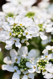 White Flower Bush. Shrubs of white flower surrounding closed young petals Royalty Free Stock Photos