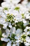 White Flower Bush Royalty Free Stock Photos