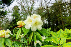 White flower. On a bush in Springtime UK Royalty Free Stock Images