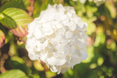 White flower bush in summer daylight. White flower bush found in the Pacific Northwest of the United States. Summer day in bright sunlight. Newport, Oregon, USA Royalty Free Stock Photo